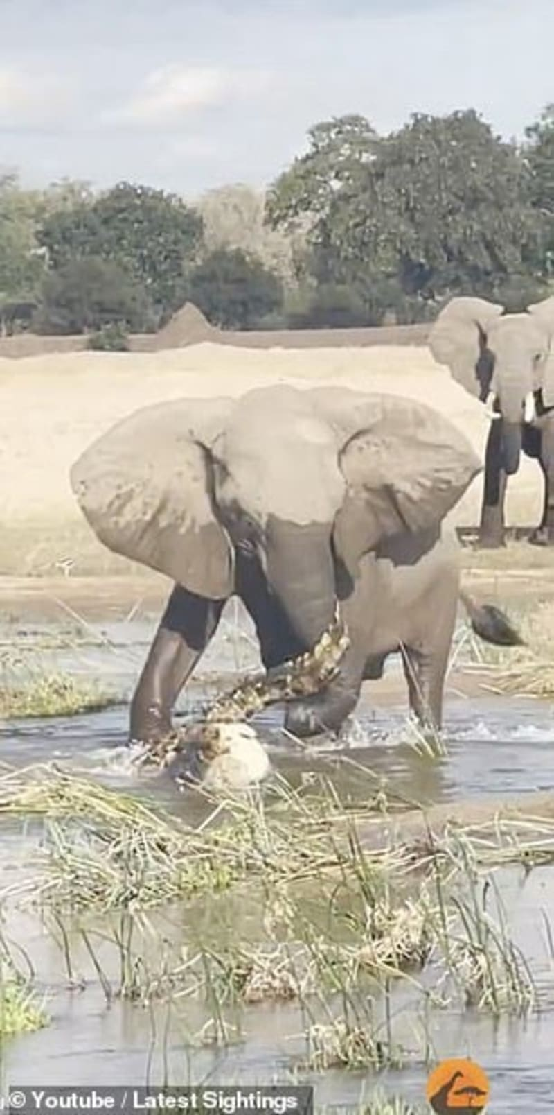 Mother Elephant Stamps A Crocodile To Death As It Stalks Her Calf (Video)