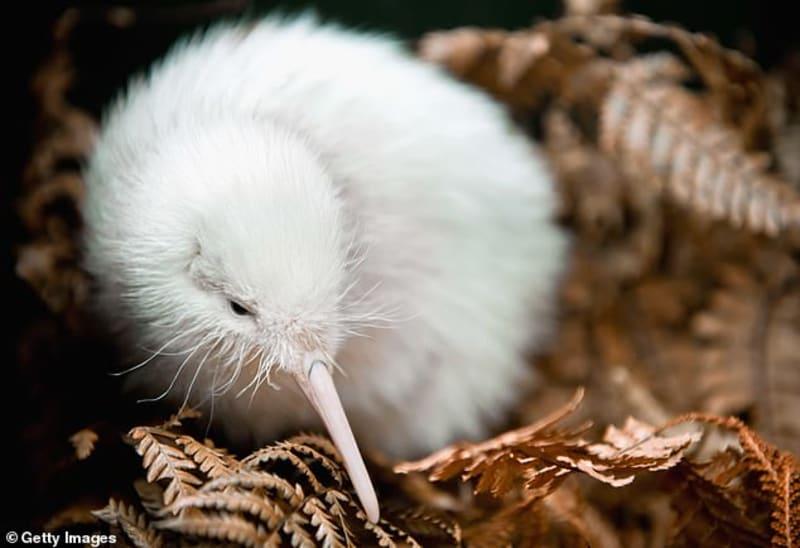 World's First Rare White Kiwi That Inspired Children's Books Dies