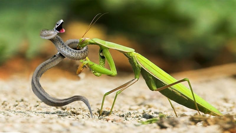 This Is Why Snakes Are Afraid Of Praying Mantises (Graphic Video)