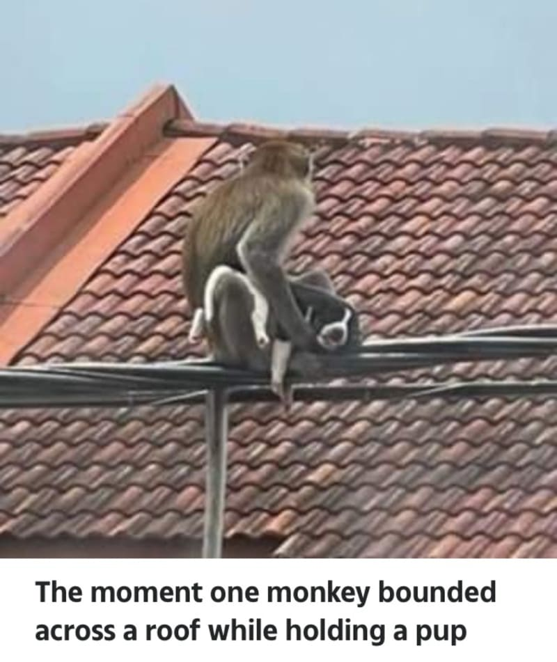 Gangs Of Wild Monkeys Kidnapping Cats And Dogs In Malaysia