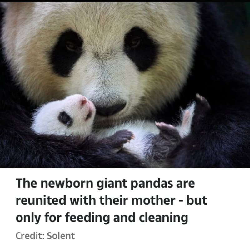 Newborn Twin Pandas Cuddle Up To Their Mother In Adorable Snaps