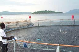 Ghana farmed catfish