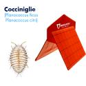 Plano Trap (Planococcus ficus - P. citri)