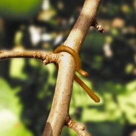 Foto Ecodian AL (Anarsia lineatella)