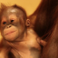 Orangutangen