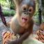 Otroliga orangutanger!