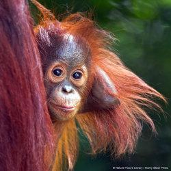 Säkra orangutangens framtid