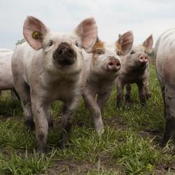 Støt velfærd blandt landbrugsdyr