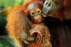 Bettys orangutanaksjon