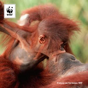 Hjälp oss hjälpa orangutangen Alba