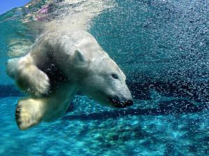Hjelp isbjørn før den forsvinner..