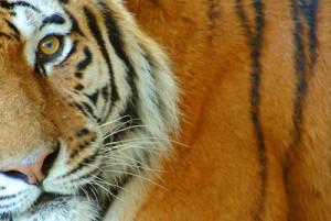 Redd tigeren samme med meg!