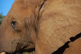 save the elefant (redd elefanten)