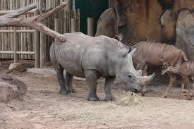 save the rhino (redd nesehornet)