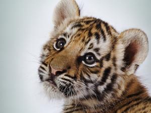 Stopp Handelen Som Dreper Tigeren!