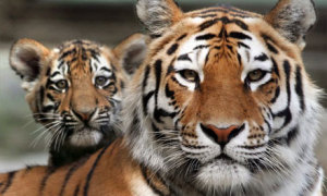 Vær med å redde tigern!