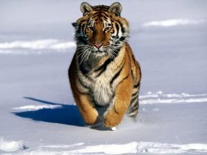 Tigeren trenger vår hjelp!