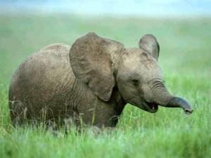Elefanter glemmer aldri.