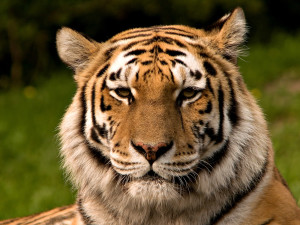 Redd tigeren