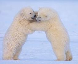 Isbjørnen trenger din hjelp!