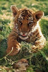 Tillberga hjälper tigrarna!