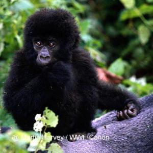 Malins gorillainsamling
