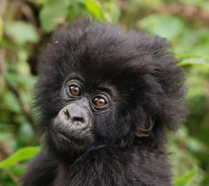 Hjälp Gorillan - En fredlig släkting