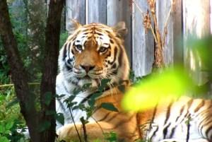 Näpit irti tiikeristä!