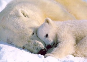 Ina sin gave til isbjørnene :)