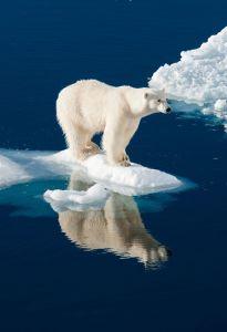Redd isbjørnene = redd verden