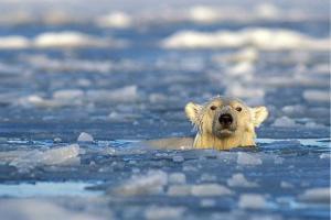 Isbjørnene vil også ha en hvit jul
