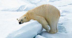 Redd Isbjørnene
