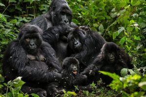 Save the Mountain Gorillas!