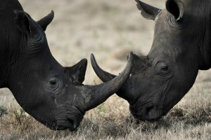Let's Help To Save Rhinos