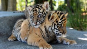 För tigrar i framtiden
