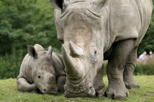 Help the rhino from extinction