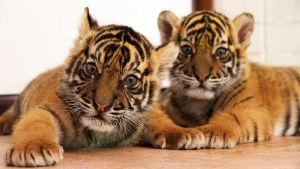 Redd Tigrene