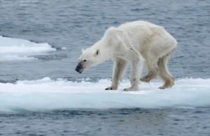 Hjälp isbjörnarna! Små bidrag eller stora.