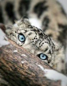 Lumileopardi/Snow leopard/Lumeleopard/Snöleopard