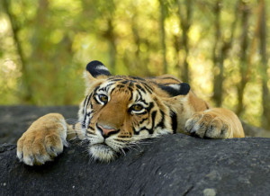 Skydda våra tigrar