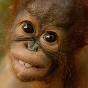 Redd orangutangen