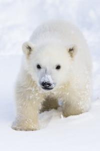 Sisu-jääkarhun keräys villeille lajitovereille