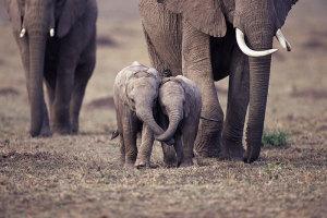 Innsamlingsaksjon til elefanten