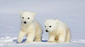 Rädda isbjörnarna