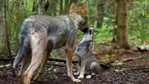 redd ulven