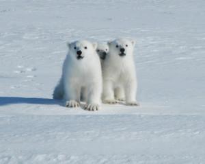Aksjon isbjørn