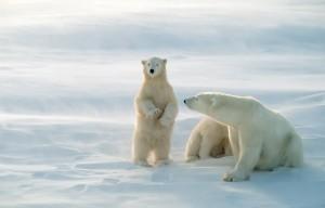 Studerande på SMH räddar isbjörnar!