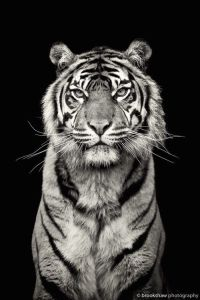 För tigrarnas skull