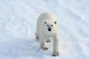 Redd isbjørnene!