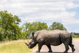 Run for the Rhino